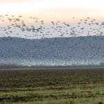 Как протече среднозимното преброяване на водолюбивите птици в Североизточна България