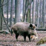Трихинелоза по диви прасета в Силистренско
