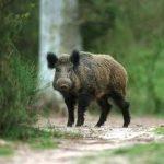Няма регистрирани диви животни с шап в Силистренско