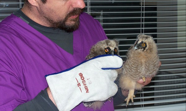 Силистренци спасиха двумесечни ушати сови