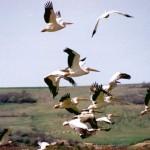 Пеликаните в Сребърна вече си имат поколение