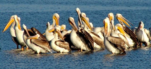 """Повече от 200 къдроглави пеликани от резерват """"Сребърна"""" отлетяха на юг"""