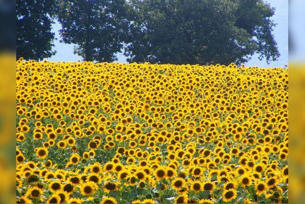 Кражба на слънчогледово семе