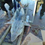 Почти 200-килограмова Моруна бе спасена от бракониери