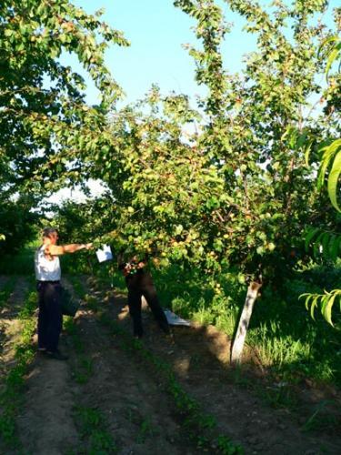 Близо 80% от ранните сортове кайсии в Силистренско са унищожени от студа през зимата