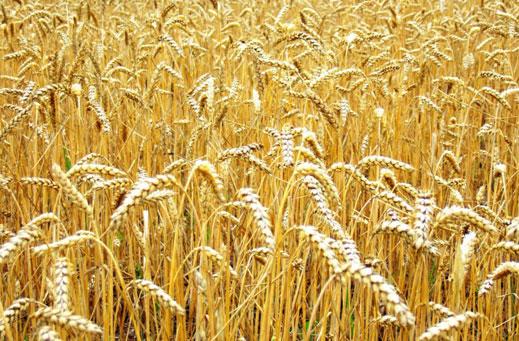 Опазиха зърнената реколтата в Крайдунавска Добруджа от пожари